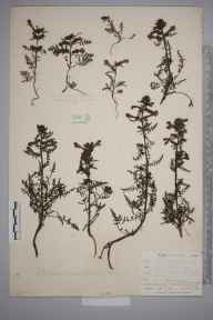 Pedicularis palustris herbarium specimen from Penzance, VC1 West Cornwall in 1899 by Mr Allan Octavian Hume.