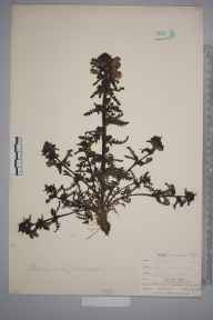 Pedicularis palustris herbarium specimen from Teesdale, Widdybank Fell, VC66 County Durham in 1903 by Mr Allan Octavian Hume.