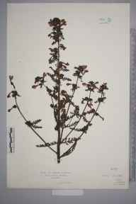 Pedicularis palustris herbarium specimen from Lawers, VC88 Mid Perthshire in 1927 by Mr Isaac A Helsby.