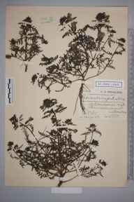 Pedicularis palustris herbarium specimen from Penmaenmawr, VC49 Caernarvonshire in 1910 by Charles Smith Nicholson.