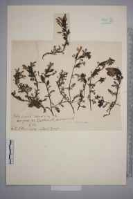 Pedicularis sylvatica herbarium specimen from Harefield, VC21 Middlesex in 1903 by Charles Baylis Green.