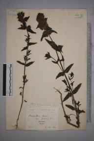 Rhinanthus minor herbarium specimen from Wareham, VC9 Dorset in 1890 by Rev. Edward Francis Linton.