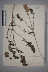 Rhinanthus angustifolius herbarium specimen from Kingston, VC17 Surrey in 1881 by Mr George Nicholson.