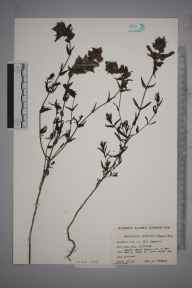 Rhinanthus angustifolius herbarium specimen from Old Coulsdon, VC17 Surrey in 1966 by Donald Peter Young.