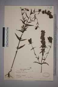 Rhinanthus angustifolius herbarium specimen from East Haven, VC90 Angus in 1937 by Dr William Arthur Sledge.