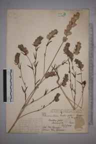Rhinanthus  herbarium specimen from Harlington, VC30 Bedfordshire in 1885 by Mrs  Saunders.