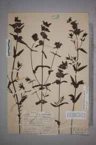 Rhinanthus minor subsp. minor herbarium specimen from Stanmore, VC21 Middlesex in 1908 by Charles Smith Nicholson.