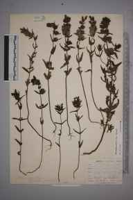 Rhinanthus minor subsp. minor herbarium specimen from Catford, VC16 West Kent in 1900 by William Henry Griffin.