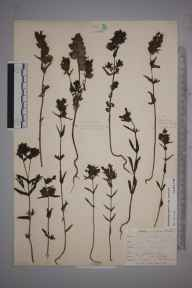 Rhinanthus minor subsp. minor herbarium specimen from Niton, VC10 Isle of Wight in 1900 by Mr Allan Octavian Hume.