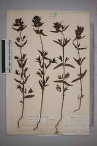 Rhinanthus minor subsp. minor herbarium specimen from Downe, VC16 West Kent in 1902 by William Henry Griffin.
