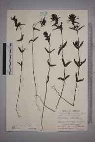 Rhinanthus minor subsp. minor herbarium specimen from Llanberis Lakes, VC49 Caernarvonshire in 1931 by Mr Job Edward Lousley.