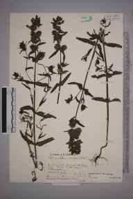 Rhinanthus minor subsp. minor herbarium specimen from Coldwaltham, VC13 West Sussex in 1932 by Mr Job Edward Lousley.