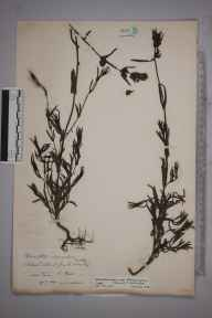 Rhinanthus minor subsp. stenophyllus herbarium specimen from Tain, VC106 East Ross & Cromarty in 1890 by Rev. Edward Shearburn Marshall.