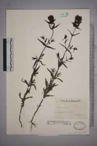 Rhinanthus minor subsp. stenophyllus herbarium specimen from Edburton, VC13 West Sussex in 1935 by Mr Edward Charles Wallace.