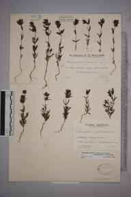 Rhinanthus minor subsp. monticola herbarium specimen from Loch Callater, VC92 South Aberdeenshire in 1934 by Mr Edward Charles Wallace.