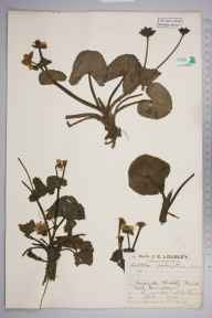 Caltha palustris var. guerangerii herbarium specimen from Widdybank Fell, Teesdale, VC66 County Durham in 1927 by Mr Job Edward Lousley.