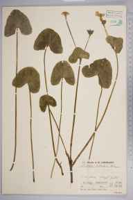 Caltha palustris var. guerangerii herbarium specimen from Lough Gill, VCH28 Co. Sligo in 1937.