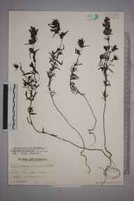 Rhinanthus minor subsp. calcareus herbarium specimen from Calne, VC7 North Wiltshire in 1941 by Mr Edward Charles Wallace.