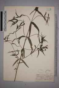 Melampyrum cristatum herbarium specimen from Monks Wood, VC31 Huntingdonshire in 1846 by Mr Frederick Townsend.