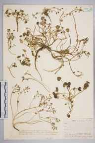 Cochlearia micacea herbarium specimen from Ben Lawers, VC88 Mid Perthshire in 1906 by Mr Cecil Prescott Hurst.