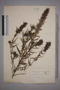 Melampyrum arvense herbarium specimen from Steephill, VC10 Isle of Wight in 1888 by Mr Walter Waters Reeves.