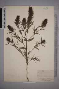 Melampyrum arvense herbarium specimen from Steephill, VC10 Isle of Wight in 1838 by A Hamburgh.