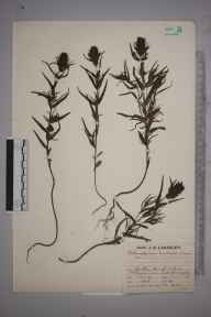 Melampyrum arvense herbarium specimen from Saint Lawrence, VC10 Isle of Wight in 1930 by Mr Job Edward Lousley.