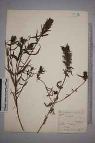 Melampyrum arvense herbarium specimen from Saint Lawrence, VC10 Isle of Wight in 1846 by Mr Frederick Townsend.