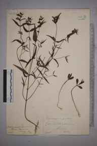 Melampyrum pratense herbarium specimen from Bisley Common, VC17 Surrey in 1887 by Mr William Hadden Beeby.