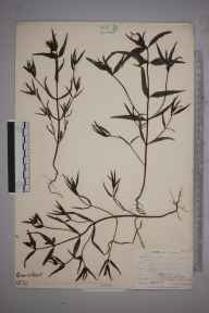 Melampyrum pratense herbarium specimen from Wynch Bridge, VC66 County Durham in 1903 by Mr Allan Octavian Hume.