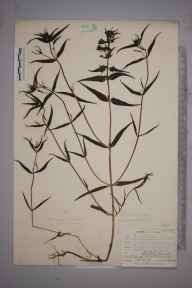 Melampyrum pratense herbarium specimen from Waldron, VC14 East Sussex in 1904 by Mr Allan Octavian Hume.