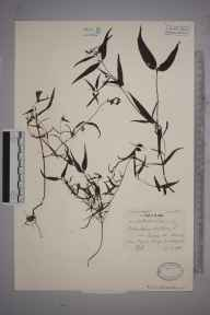 Melampyrum pratense herbarium specimen from Drewsteignton, VC3 South Devon in 1936 by Mr Patrick Martin Hall.