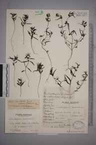 Melampyrum pratense herbarium specimen from Glen Ey, VC92 South Aberdeenshire in 1925 by Mr Edward Charles Wallace.
