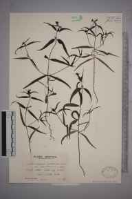 Melampyrum pratense herbarium specimen from Keltney Burn, VC88 Mid Perthshire in 1937 by Mr Edward Charles Wallace.
