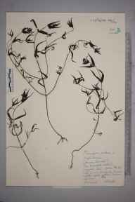 Melampyrum pratense herbarium specimen from Limpsfield, VC17 Surrey in 1959 by J H Hewitt.
