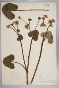 Caltha palustris var. guerangerii herbarium specimen from West Looe, VC2 East Cornwall in 1900 by Mr Allan Octavian Hume.