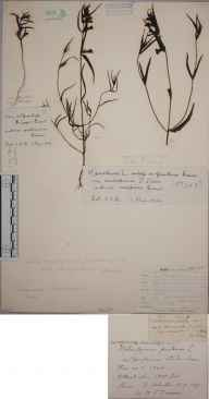 Melampyrum pratense subsp. ericetorum herbarium specimen from Ulabhal, VC110 Outer Hebrides in 1897 by William S Duncan.