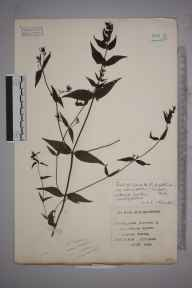 Melampyrum pratense herbarium specimen from Ranmore Common, VC17 Surrey in 1934 by Mr Charles Edward Britton.