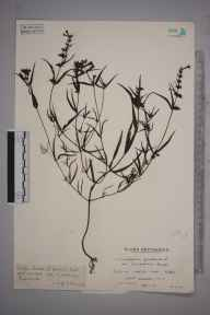 Melampyrum pratense herbarium specimen from Durfold Wood, VC13 West Sussex in 1938 by Mr Edward Charles Wallace.