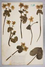 Caltha palustris var. guerangerii herbarium specimen from Luccombe, VC10 Isle of Wight by A Hamburgh.