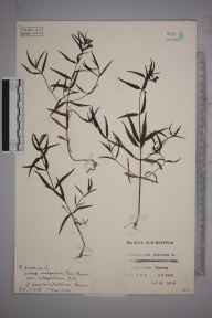 Melampyrum pratense herbarium specimen from Ottershaw, VC17 Surrey in 1931 by Mr Charles Edward Britton.