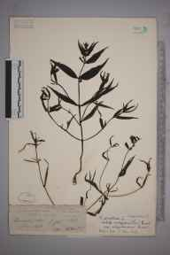 Melampyrum pratense herbarium specimen from Luccombe, VC10 Isle of Wight in 1838 by A Hamburgh.