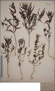 Melampyrum sylvaticum herbarium specimen from Braemar,Corriemulzie, VC92 South Aberdeenshire in 1844 by Mr William Gardiner.
