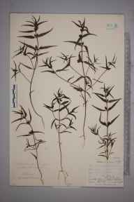 Melampyrum sylvaticum herbarium specimen from Wynch Bridge, VC66 County Durham in 1903 by Mr Allan Octavian Hume.