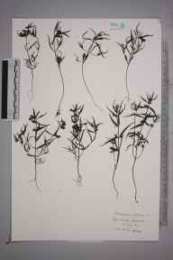 Melampyrum sylvaticum herbarium specimen from Ben Lawers, VC88 Mid Perthshire in 1927 by William Charles Richard Watson.