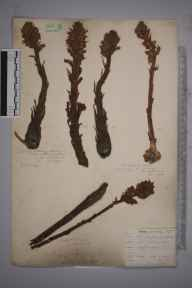 Orobanche caryophyllacea herbarium specimen from Reigate Hill, VC17 Surrey in 1901 by William Shrubsole.