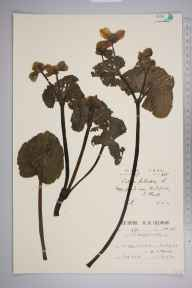 Caltha palustris var. guerangerii herbarium specimen from Shedfield, VC11 South Hampshire in 1930 by Mr Patrick Martin Hall.