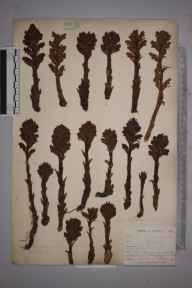 Orobanche rubra herbarium specimen from Kynance Valley, VC1 West Cornwall in 1899 by Mr Allan Octavian Hume.
