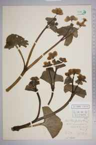 Caltha palustris var. guerangerii herbarium specimen from Woodhatch, VC17 Surrey in 1908 by Charles Smith Nicholson.