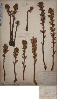 Orobanche minor herbarium specimen from Swanscombe, VC16 West Kent in 1901 by William Henry Griffin.